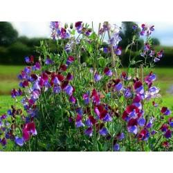SWEET PEA Seeds (Lathyrus odoratus) 1.55 - 3
