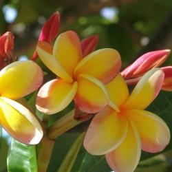 """Sementes de Plumeria """"Orangelight"""" 2.5 - 1"""