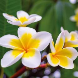 "Graines de Plumeria ""Yellow gold"" 2.5 - 2"