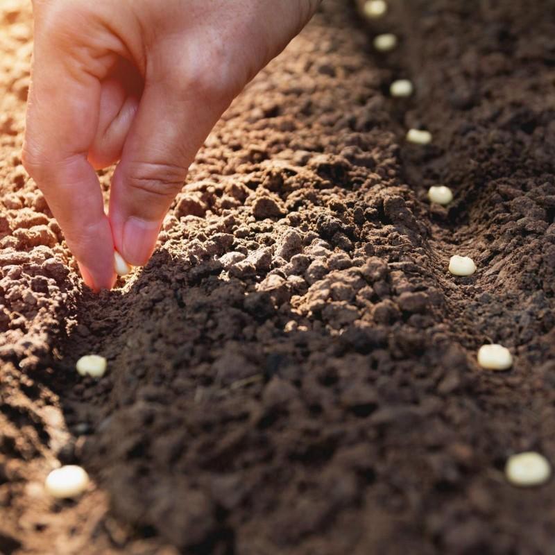 Como Cultivar Milho 0 - 1