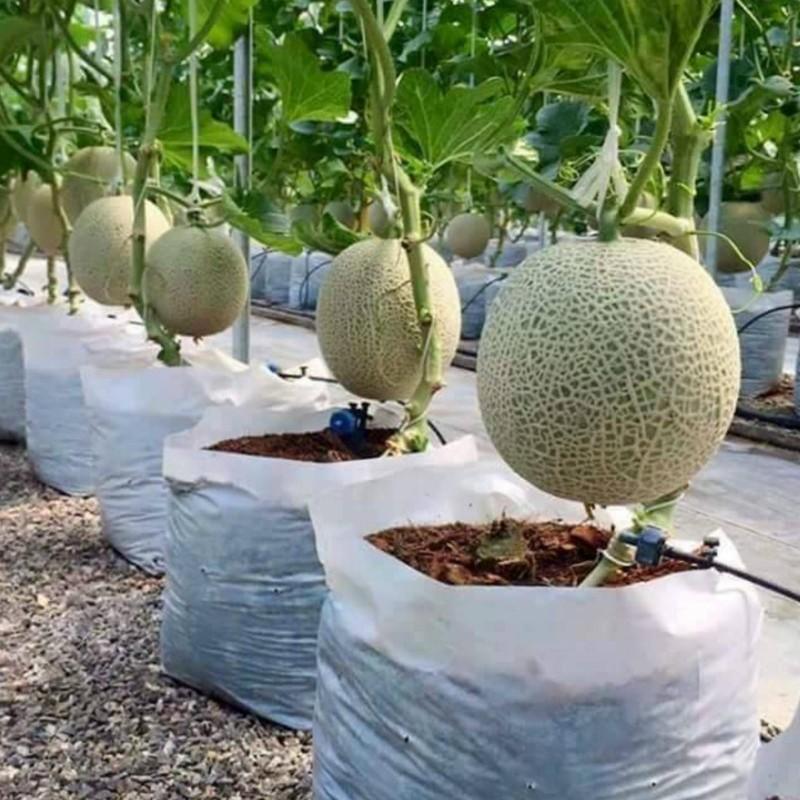 Como cultivar melões 0 - 1