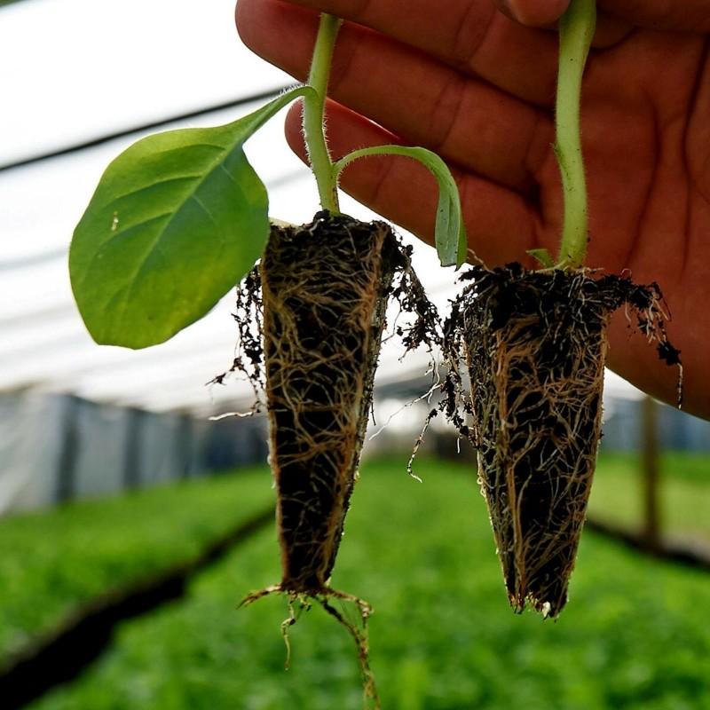 Como Plantar Tabaco 0 - 1