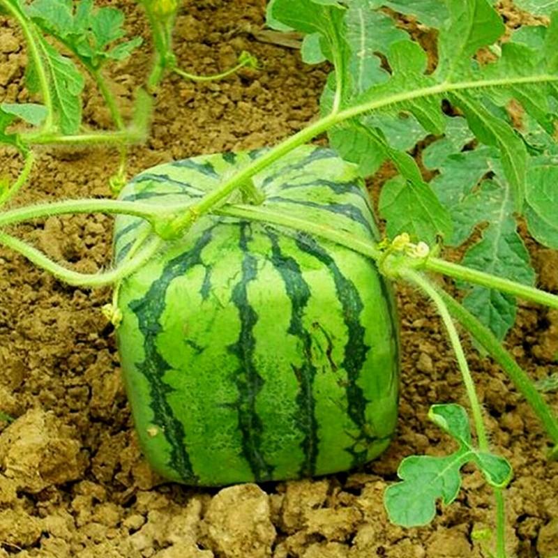 Eine quadratische Wassermelone ziehen 1.75 - 1