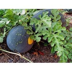 Watermelon Seeds - Moon and Stars