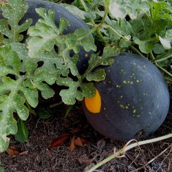 100 Seeds Yellow Fleshed Watermelon Moon and Stars 10 - 1