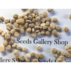 Semi di Panax Ginseng - pianta medicinale plant 2.5 - 6