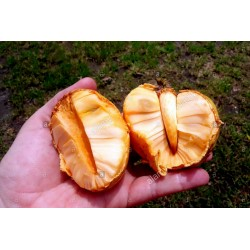 Pond Apple Seeds (Annona glabra) 1.85 - 3