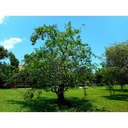 Pond Apple Seme - Tropsko Egzoticno Voce (Annona glabra) 1.85 - 4