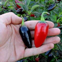 Chili Samen Jalapeno Purple & Brown 1.75 - 2