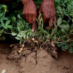 Graines de Cacahuete Arachide (Arachis hypogaea) 1.95 - 2