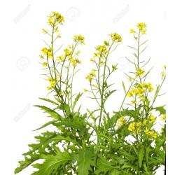 Sementes de Mostarda-castanha (Brassica juncea) 1.95 - 3