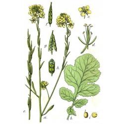Sementes de Mostarda-castanha (Brassica juncea) 1.95 - 5