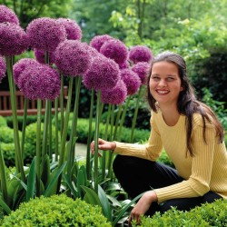 Alho-porro gigante Allium Mix Sensation - bolbos 4.5 - 8