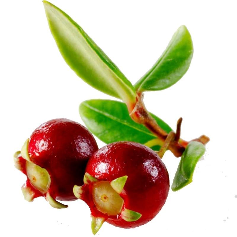 Sementes De Ugni Molinae - Chilean Cranberry 2.8 - 3