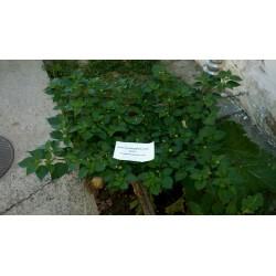 Σπόροι Τσίλι - πιπέρι Habanero Kreole (C. chinense) 2 - 4
