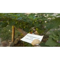 Kreole Habanero Seme (C.chinense) Extremno Velik Prinos 2 - 6