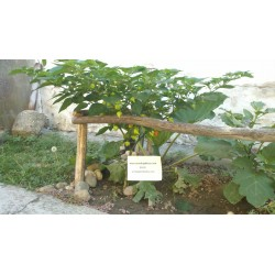 Kreole Habanero Seme (C.chinense) Extremno Velik Prinos 2 - 7