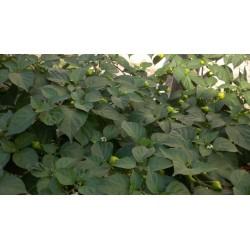 Σπόροι Τσίλι - πιπέρι Habanero Kreole (C. chinense) 2 - 8