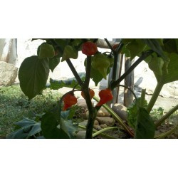 Sementes de Pimenta Habanero Kreole (C.chinense) 2 - 10
