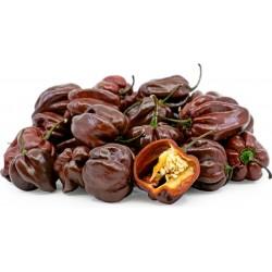 Habanero Chocolate Seme 2 - 3