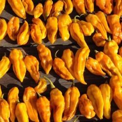 Habanero Devil's Tongue Yellow Seeds 2.15 - 1