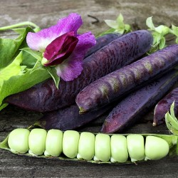 Blauwschokker Pea Seeds 1.95 - 5