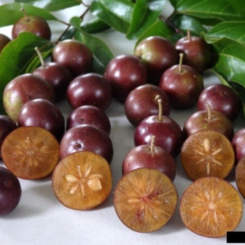 Governor's Plum Fruit Tropical Plant Ramontchi 10 Seeds Flacourtia indica