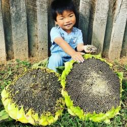 Giant Sunflower - Mongolian Giant Seeds 3.85 - 1