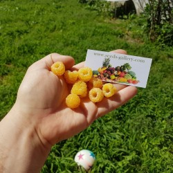 Κίτρινοι σμέουρων σπόροι (Rubus idaeus) 2.049999 - 6