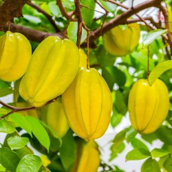 "Sternfrucht Samen ""Averrhoa carambola"" 4 - 3"