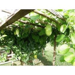 Riesengranadilla Samen (Passiflora quadrangularis) 2.5 - 8