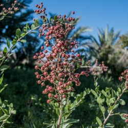 Hennastrauch Samen (Lawsonia inermis) 2.5 - 1