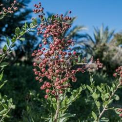 Sementes de Hena (Lawsonia inermis) 2.5 - 1