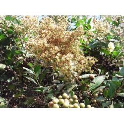 Hennastrauch Samen (Lawsonia inermis) 2.5 - 3