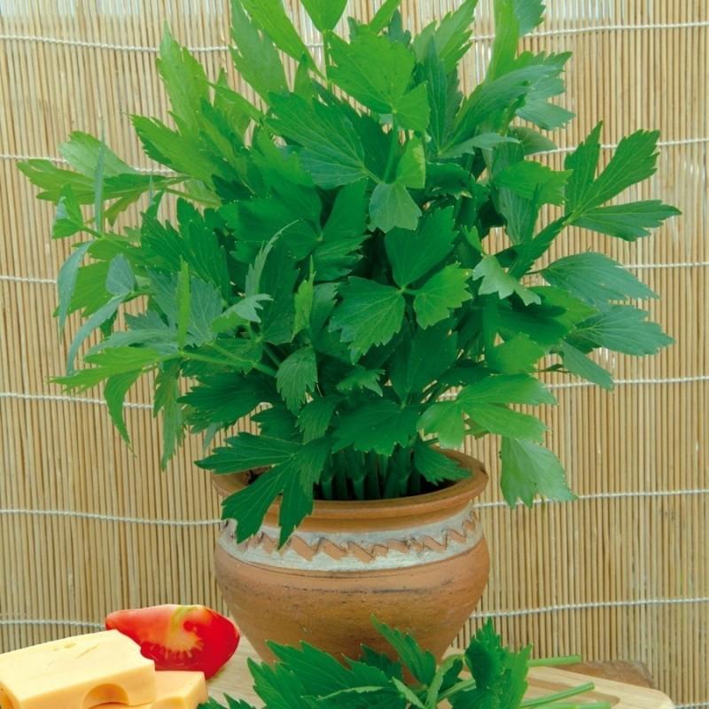 Lovage Seeds (Levisticum officinale) 1.85 - 1