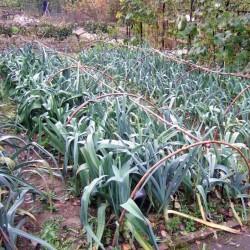 Kamus Leek Seeds – Allium Porrum 1.75 - 1