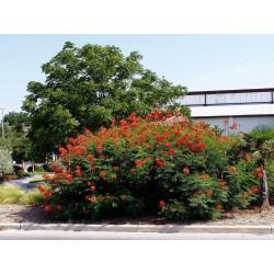 Pride of Barbados Seme - Egzoticna Biljka 2.35 - 2