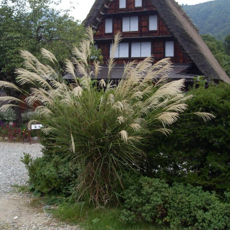 Ukrasna trava Kineska Sas Seme (Miscanthus sinensis) 2 - 1