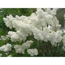 Lilac Seeds (Syringa vulgaris) 1.55 - 4