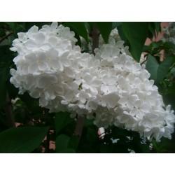 Seme Jorgovana (Syringa vulgaris) 1.55 - 5