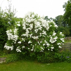 Seme Jorgovana (Syringa vulgaris) 1.55 - 7