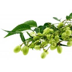 Niembaum Samen - Essbare Früchte 2.5 - 4
