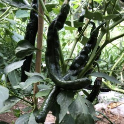 Pasilla Bajio Seeds - Black Chili 1.95 - 5