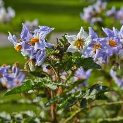 Graines de Morelle de Balbis (Solanum sisymbriifolium) 1.8 - 2