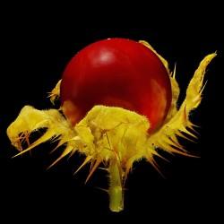 Semi di Pomodoro del Litchi (Solanum sisymbriifolium) 1.8 - 8