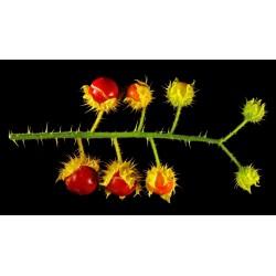 Litchi Tomato Seeds (Solanum sisymbriifolium) 1.8 - 9