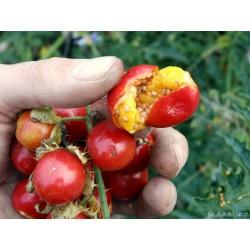 Sementes de Tomate Lichia (Solanum sisymbriifolium) 1.8 - 10