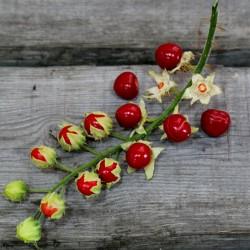 Litchi Tomato 1000 Sementes - Morelle de Balbis 85 - 10