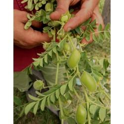 Sementes de Grão-de-bico Branco (Cicer arietinum) 1.85 - 3