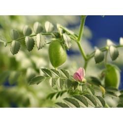 Sementes de Grão-de-bico Branco (Cicer arietinum) 1.85 - 4